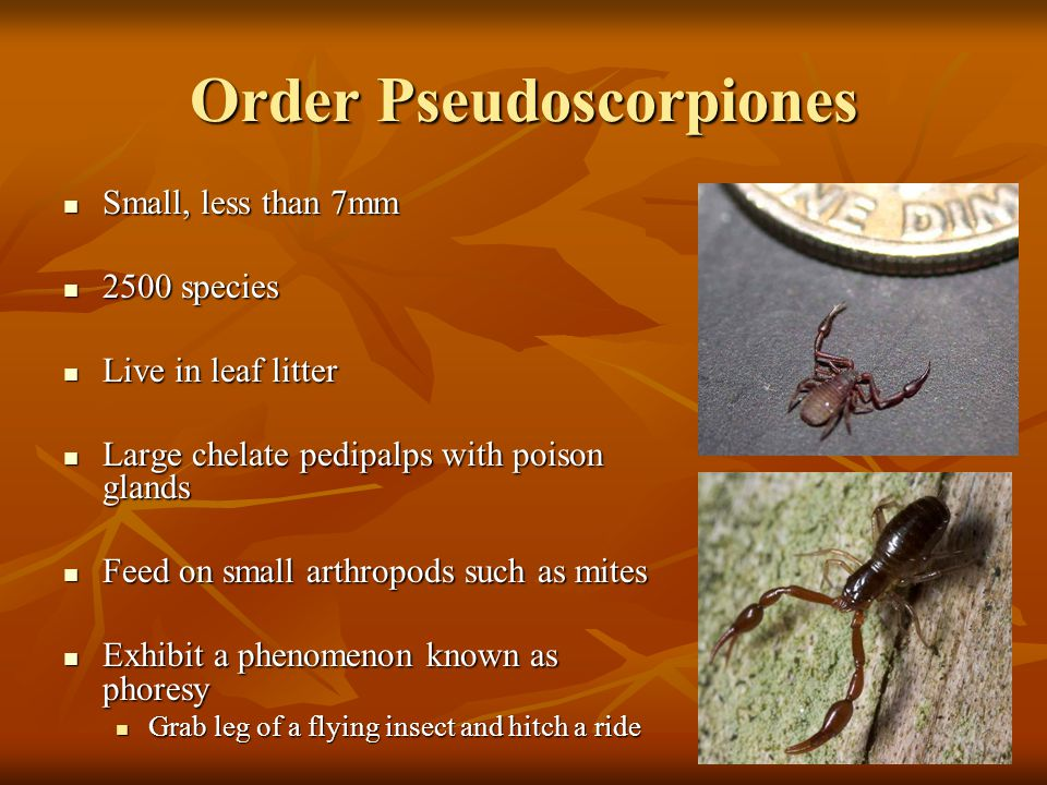 Order Pseudoscorpiones Small, less than 7mm Small, less than 7mm 2500 species 2500 species Live in leaf litter Live in leaf litter Large chelate pedip