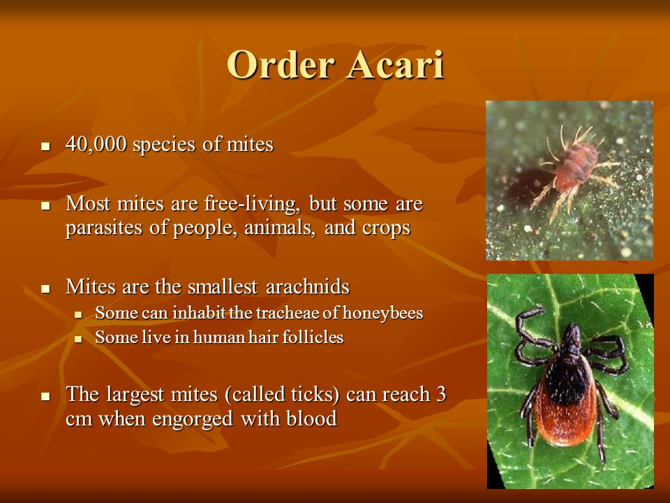 Order Acari 40,000 species of mites 40,000 species of mites Most mites are free-living, but some are parasites of people, animals, and crops Most mite
