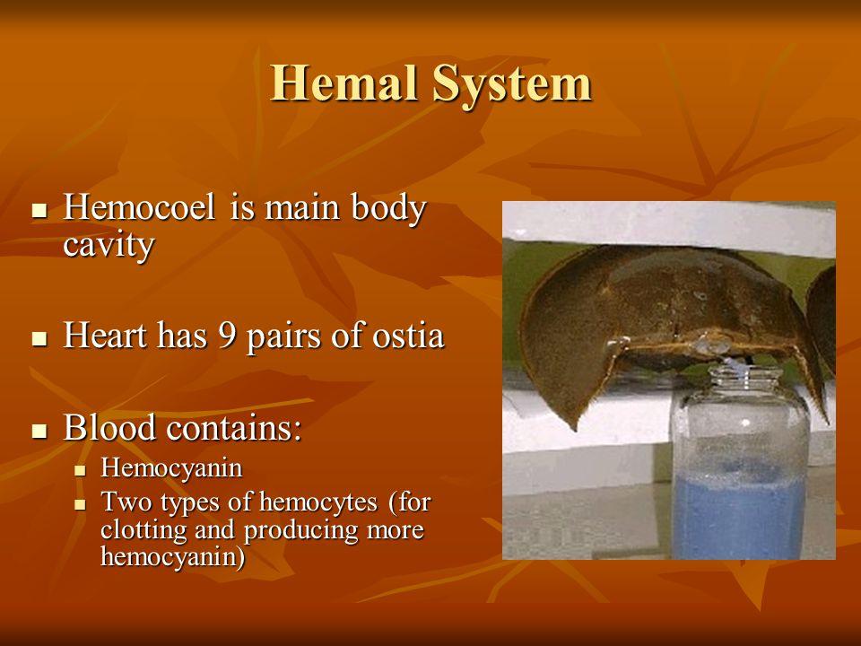 Hemal System Hemocoel is main body cavity Hemocoel is main body cavity Heart has 9 pairs of ostia Heart has 9 pairs of ostia Blood contains: Blood contains: Hemocyanin Hemocyanin Two types of hemocytes (for clotting and producing more hemocyanin) Two types of hemocytes (for clotting and producing more hemocyanin)