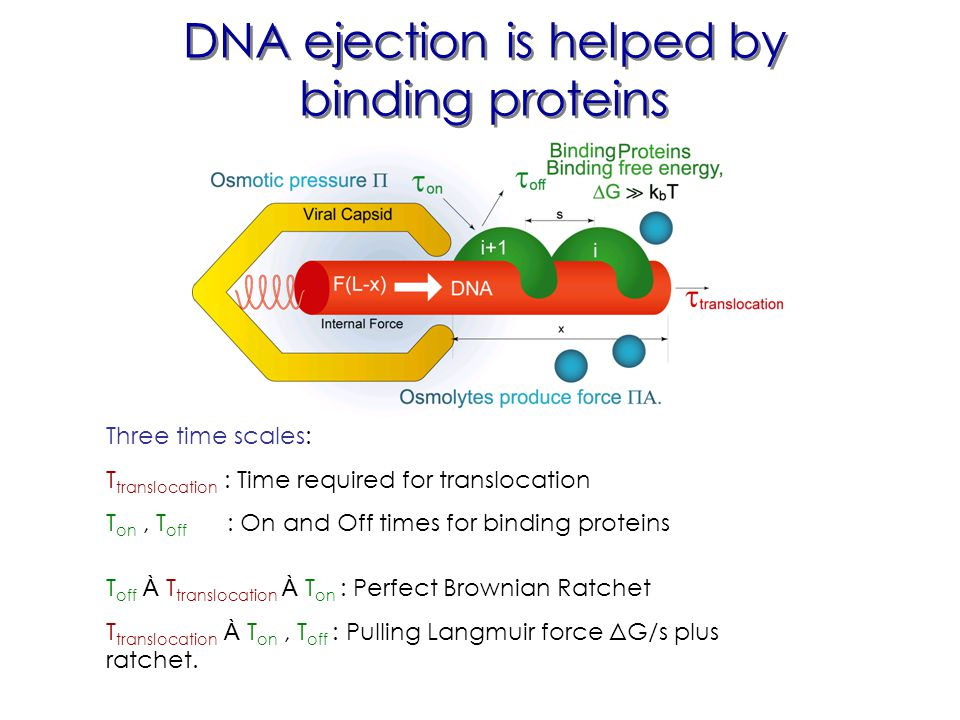 DNA ejection is helped by binding proteins Three time scales: Τ translocation : Time required for translocation Τ on, Τ off : On and Off times for binding proteins Τ off À Τ translocation À Τ on : Perfect Brownian Ratchet Τ translocation À Τ on, Τ off : Pulling Langmuir force ΔG/s plus ratchet.