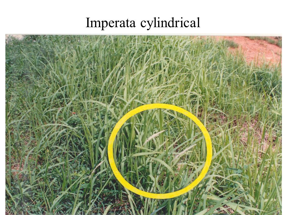 Imperata cylindrical