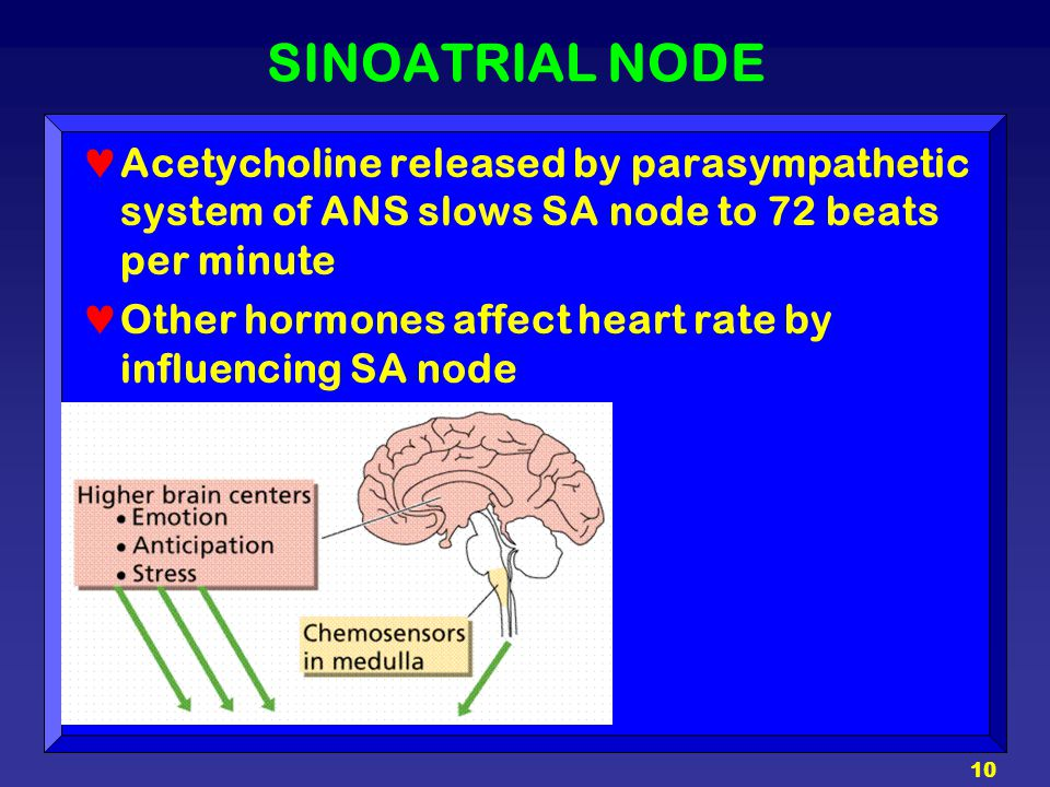 10 SINOATRIAL NODE Acetycholine released by parasympathetic system of ANS slows SA node to 72 beats per minute Other hormones affect heart rate by inf