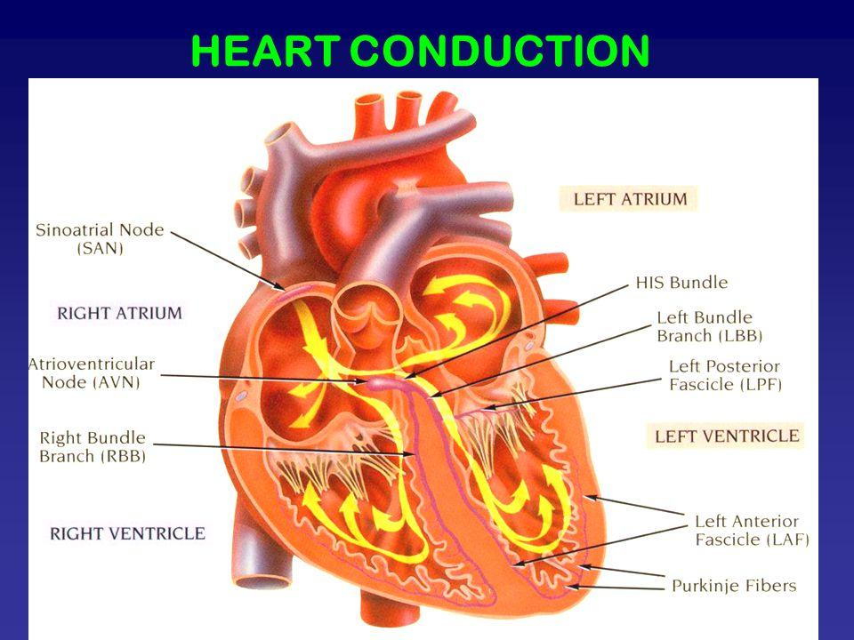 HEART CONDUCTION