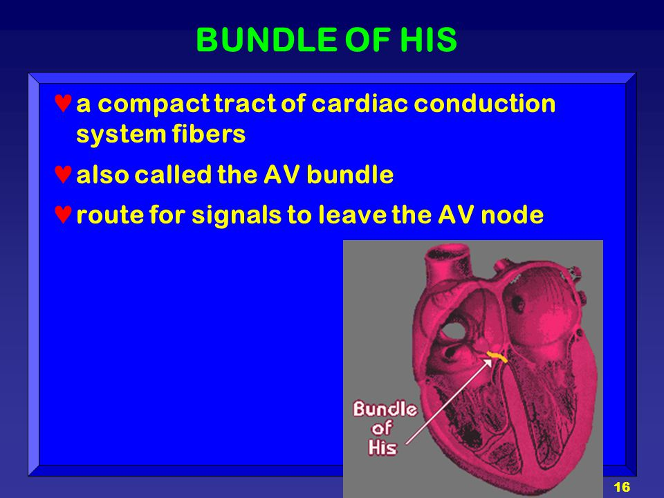 16 BUNDLE OF HIS a compact tract of cardiac conduction system fibers also called the AV bundle route for signals to leave the AV node
