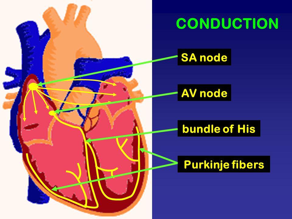 CONDUCTION SA node AV node bundle of His Purkinje fibers