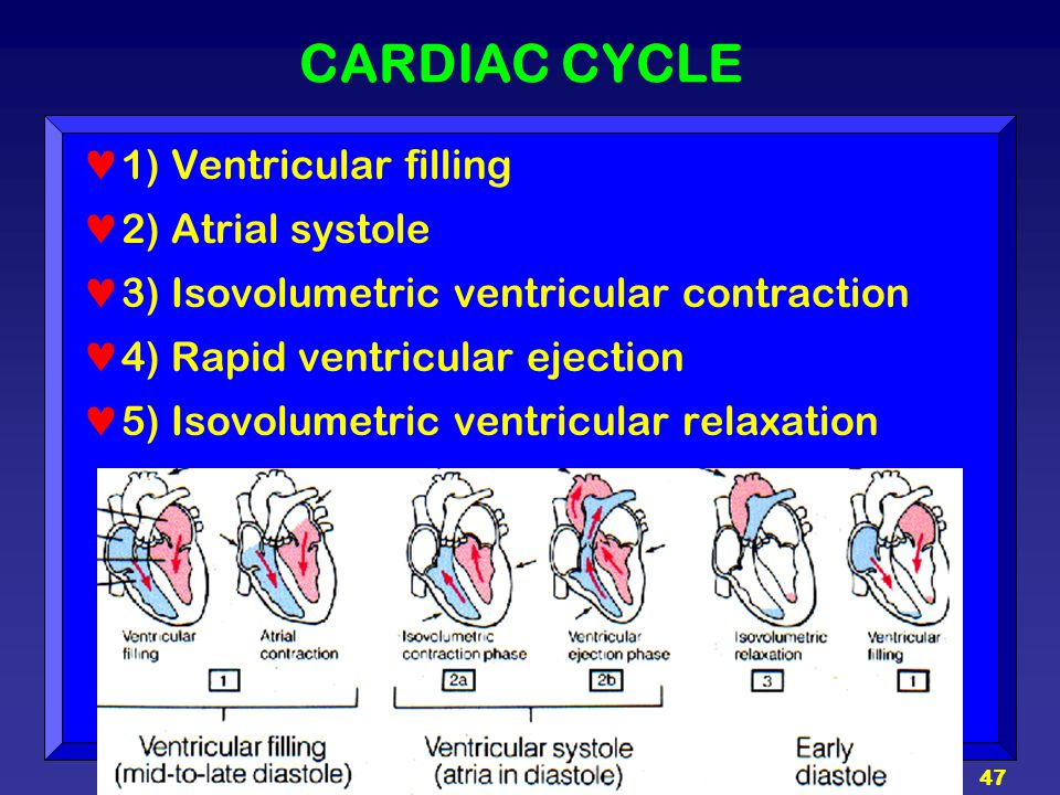47 CARDIAC CYCLE 1) Ventricular filling 2) Atrial systole 3) Isovolumetric ventricular contraction 4) Rapid ventricular ejection 5) Isovolumetric vent