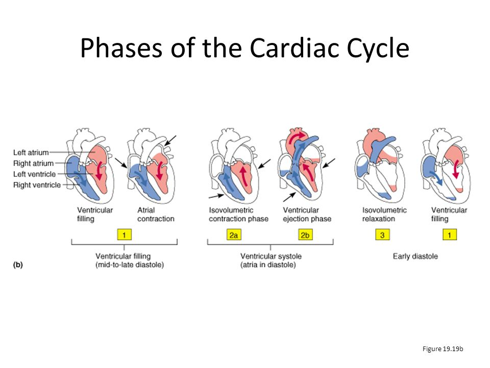 Phases of the Cardiac Cycle Figure 19.19b
