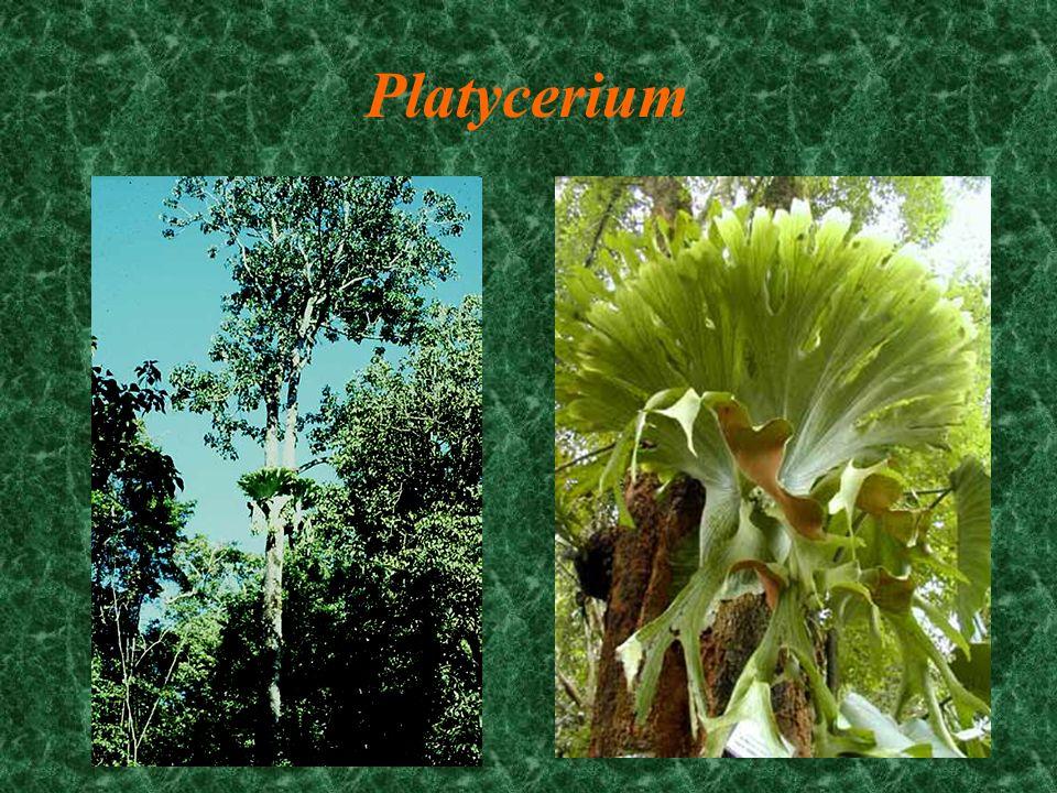 Pleopeltis polypoides resurrection fern