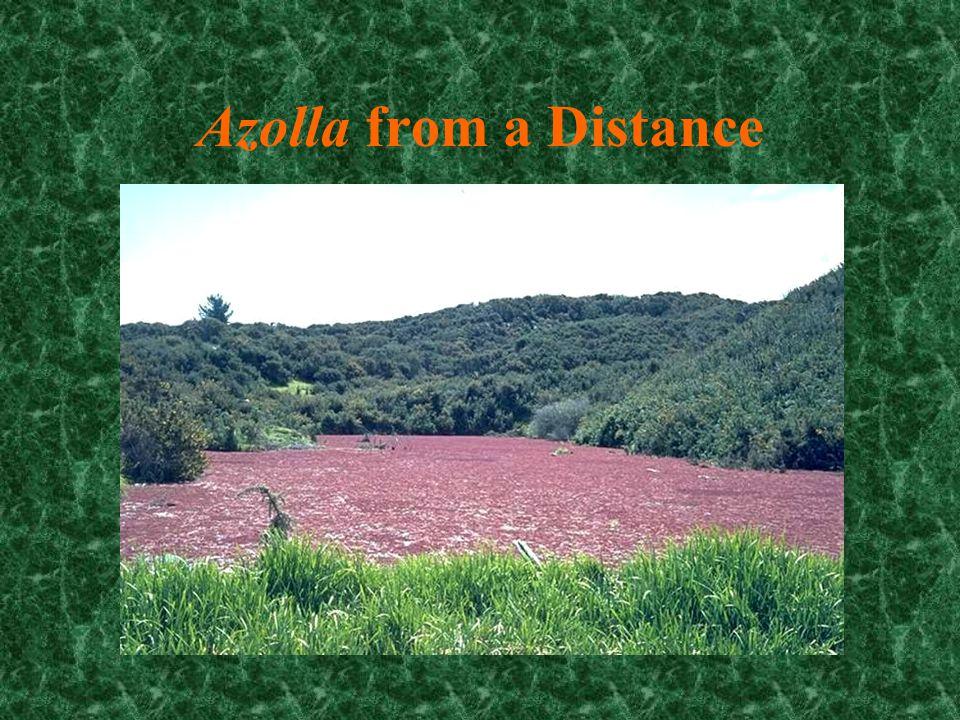 Marsilea (another water fern)