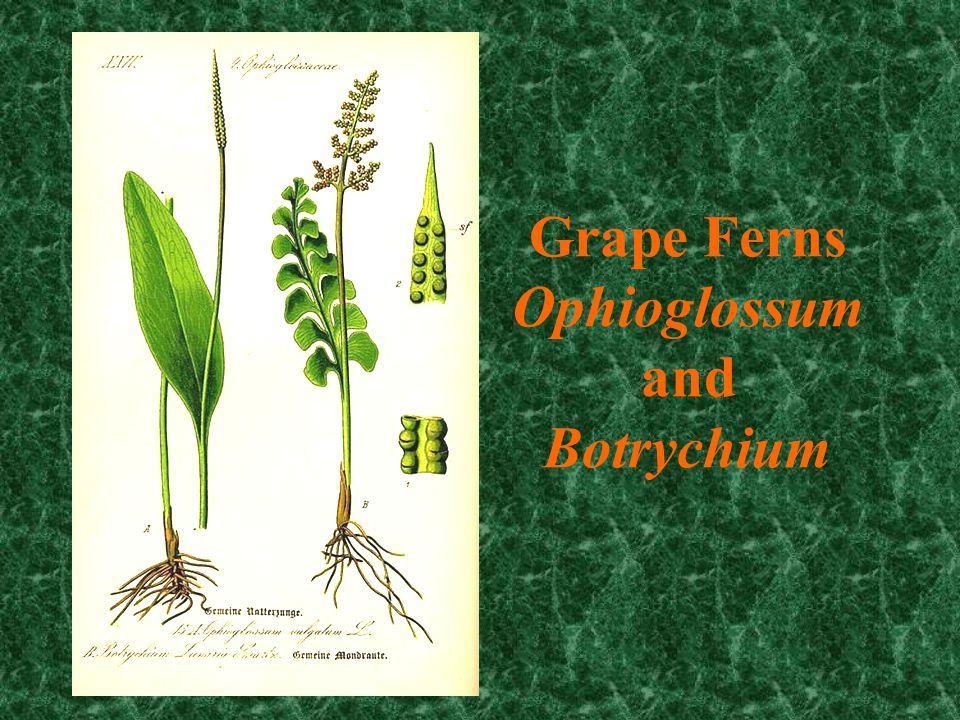 Botrychium
