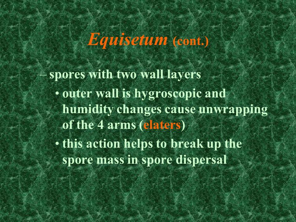 Equisetum spores and elaters