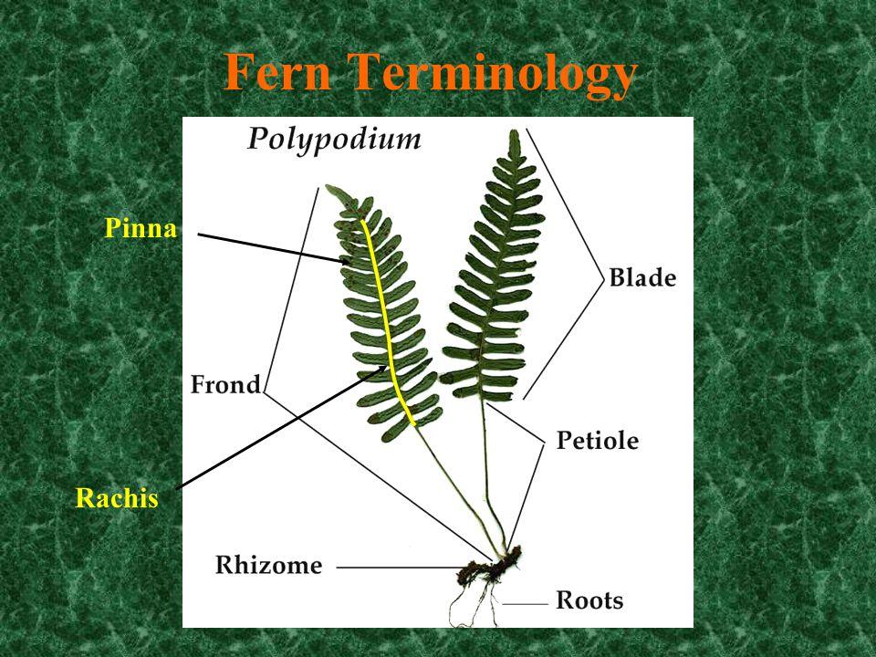 Osmunda (fertile and sterile fronds)