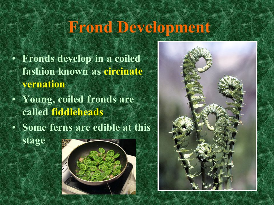 Fern Reproduction Fern plants ( diploid sporophytes) produce spores by meiosis in sporangia These sporangia develop in small clusters (called sori) on the underside of the pinnae (or on separate pinnae) Some species produce a protective indusium partially covering the sorus