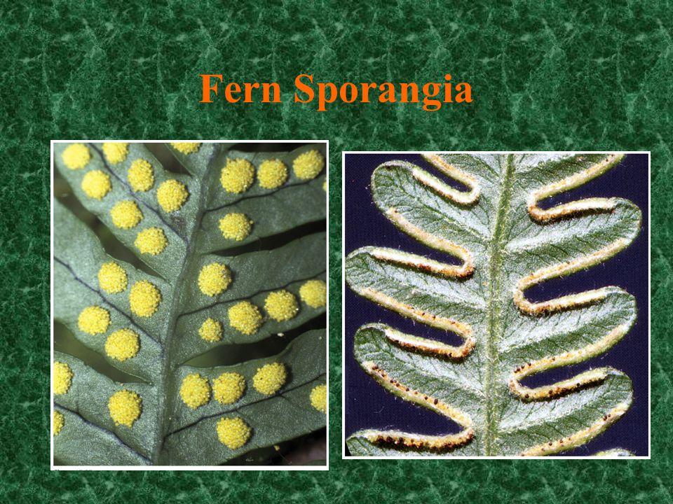 Pinna with Sori (no indusium) sorus