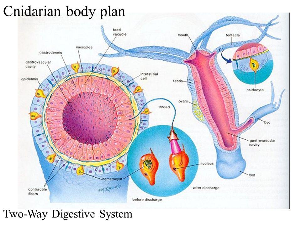 Two-Way Digestive System Cnidarian body plan