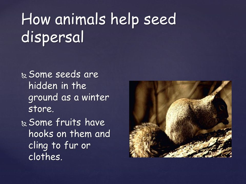 How animals help seed dispersal  Some  Some seeds are hidden in the ground as a winter store.