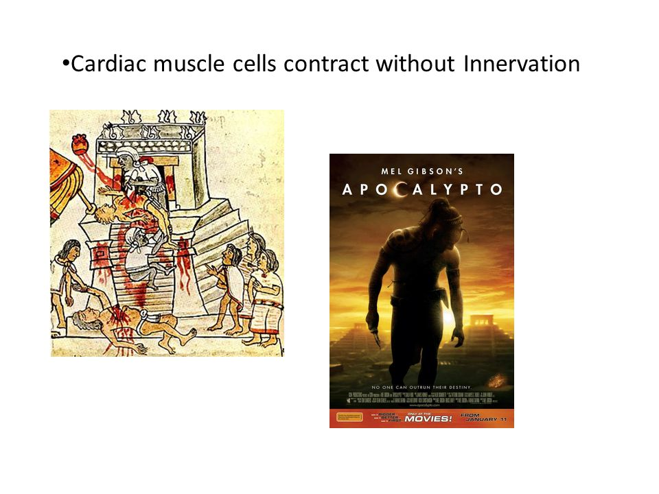 Cardiac muscle cells contract without Innervation