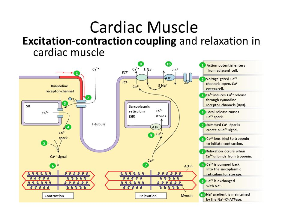 Cardiac Muscle Excitation-contraction coupling and relaxation in cardiac muscle Myosin Relaxation Contraction ATP 3 Na + 2 K + ATP Sarcoplasmic reticulum (SR) ECF ICF Actin T-tubule Ca 2+ spark Ca 2+ signal Ca 2+ SR Ryanodine receptor-channel Ca 2+ stores Ca 2+ ions bind to troponin to initiate contraction.