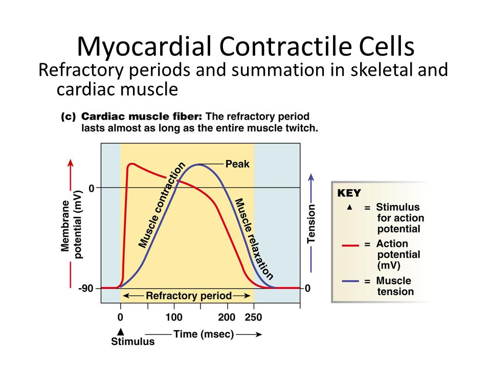 Myocardial Contractile Cells Refractory periods and summation in skeletal and cardiac muscle