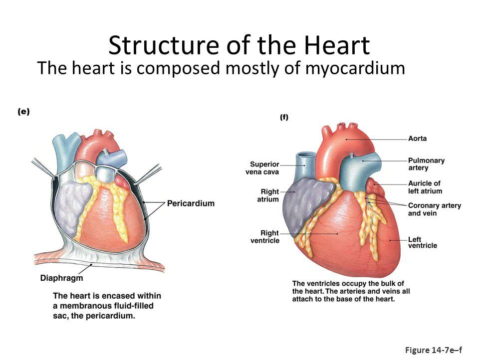 Anatomy: The Heart