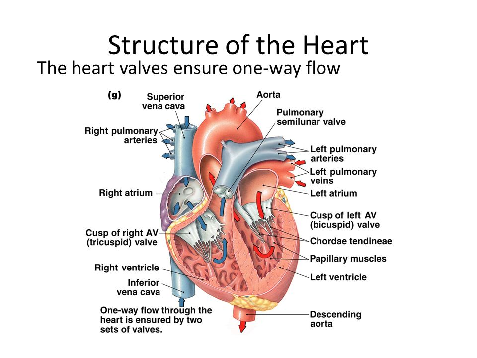 Structure of the Heart The heart valves ensure one-way flow