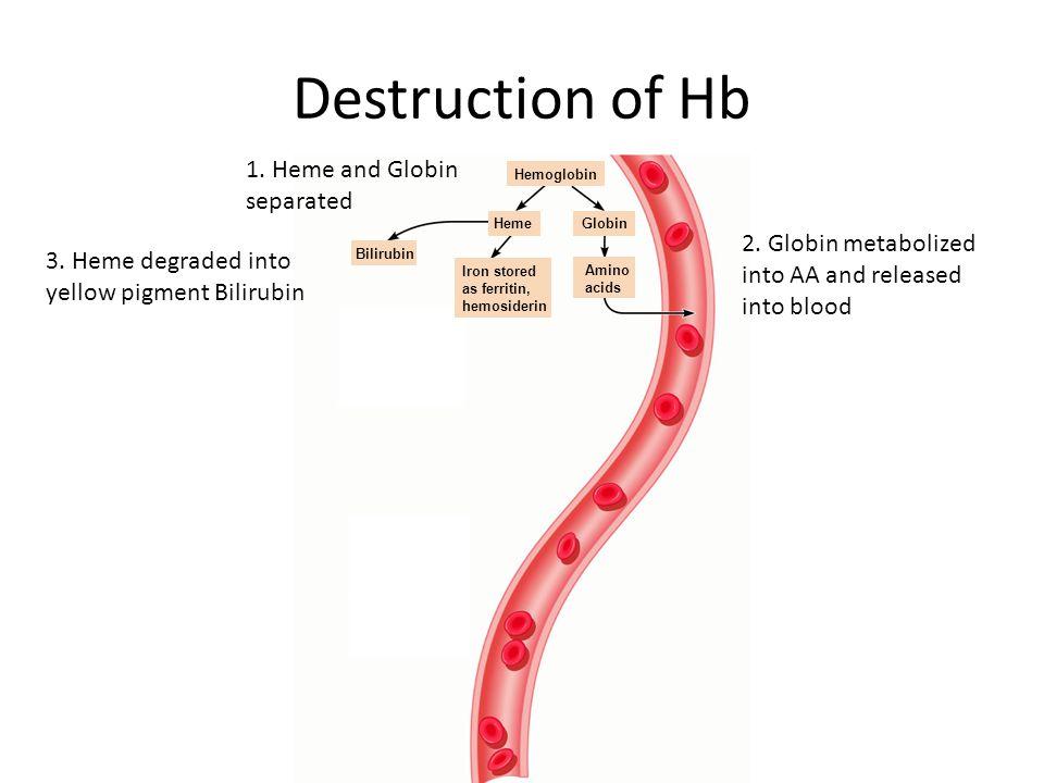 Hemoglobin Amino acids GlobinHeme Iron stored as ferritin, hemosiderin Bilirubin Destruction of Hb 1. Heme and Globin separated 2. Globin metabolized