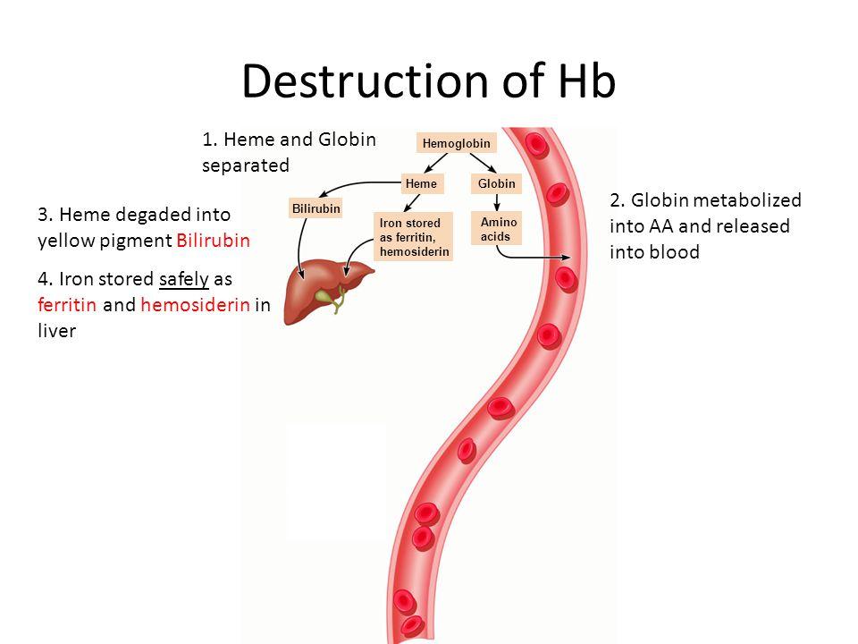 Hemoglobin Amino acids GlobinHeme Iron stored as ferritin, hemosiderin Bilirubin 4. Iron stored safely as ferritin and hemosiderin in liver Destructio