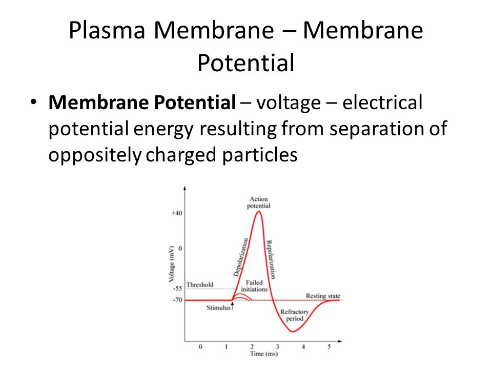 Plasma Membrane – Membrane Potential Membrane Potential – voltage – electrical potential energy resulting from separation of oppositely charged particles