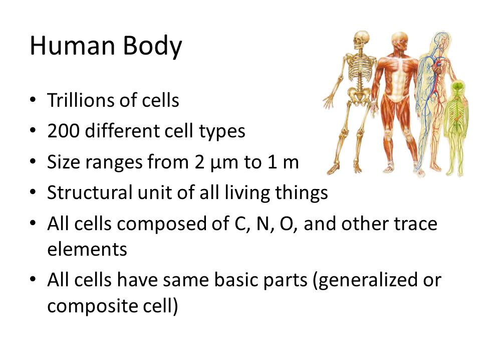 Human Body Trillions of cells 200 different cell types Size ranges from 2 µm to 1 m Structural unit of all living things All cells composed of C, N, O, and other trace elements All cells have same basic parts (generalized or composite cell)