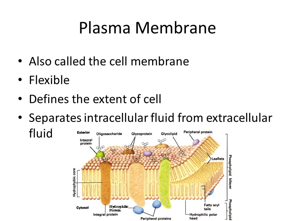Plasma Membrane Also called the cell membrane Flexible Defines the extent of cell Separates intracellular fluid from extracellular fluid