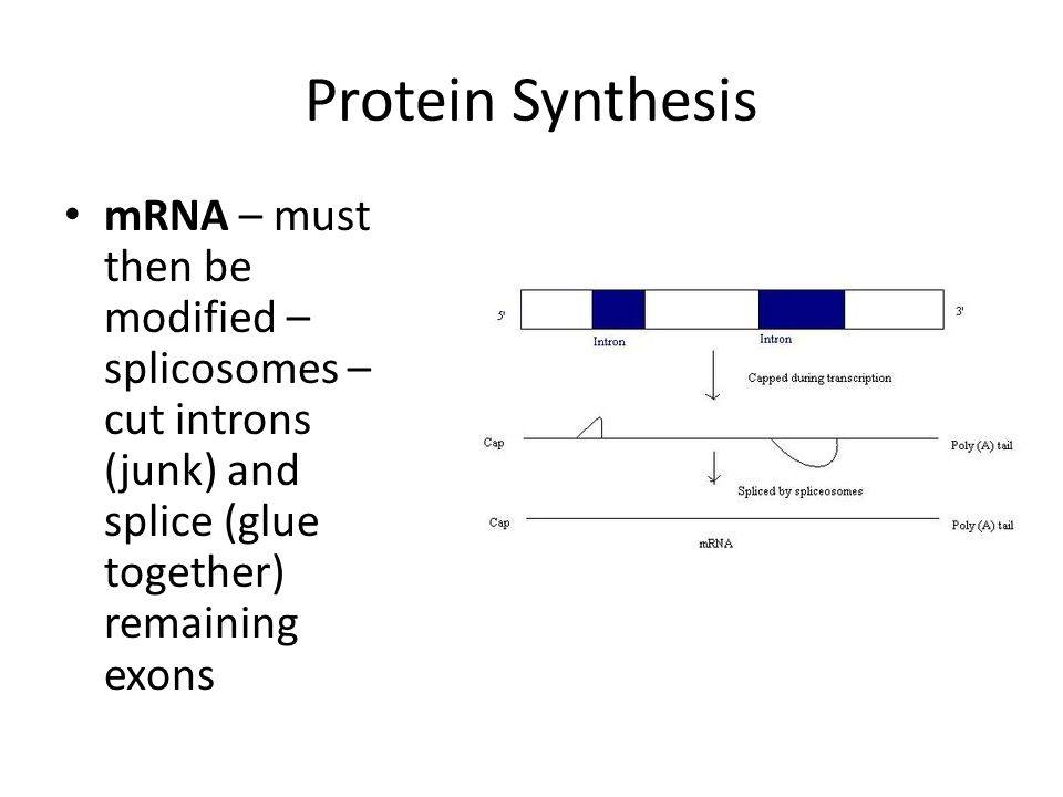 Protein Synthesis mRNA – must then be modified – splicosomes – cut introns (junk) and splice (glue together) remaining exons