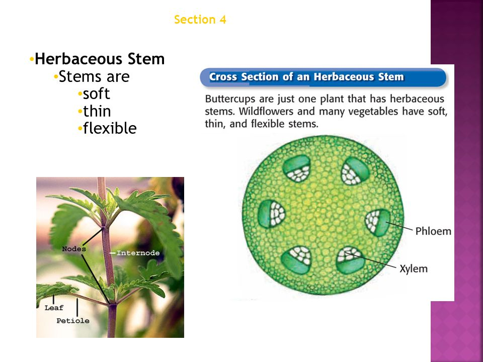Section 4 Structures of Seed Plants Chapter 12 Herbaceous Stem Stems are soft thin flexible