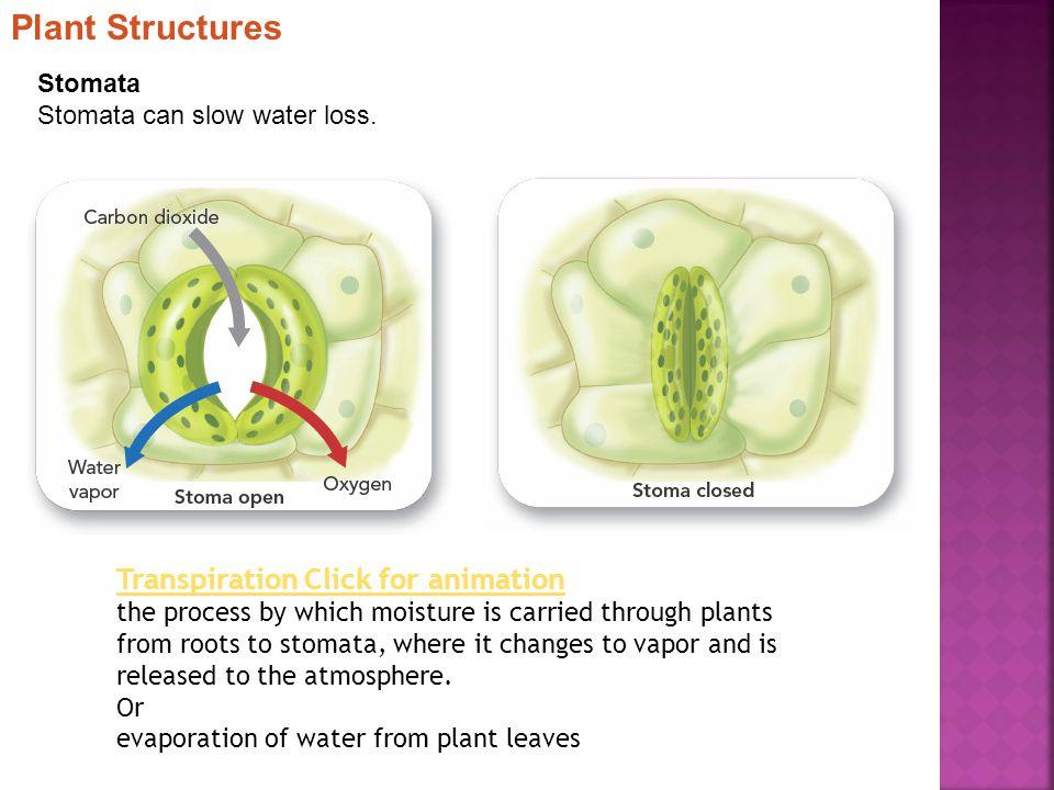 Stomata Stomata can slow water loss.