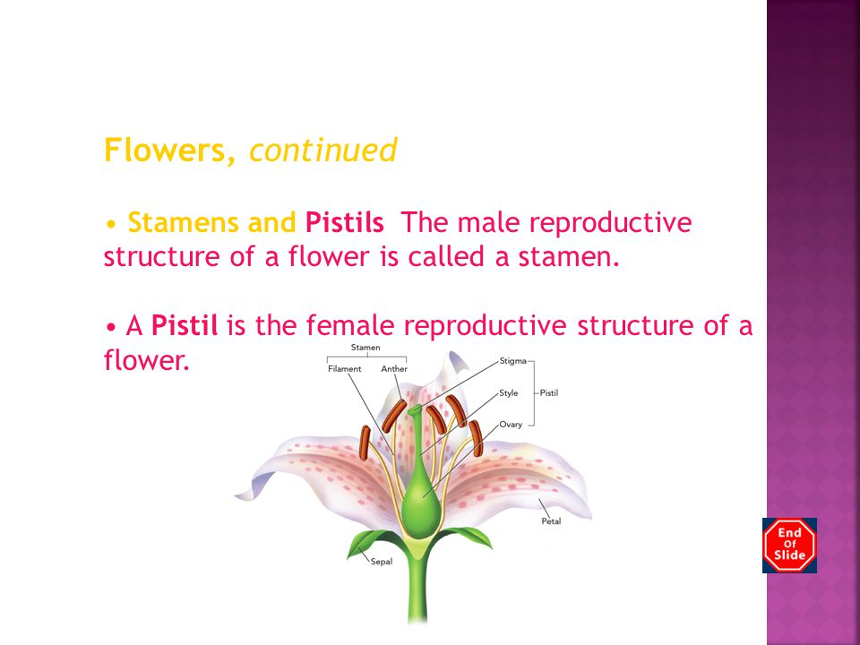 Chapter 12 Flowers, continued Stamens and Pistils The male reproductive structure of a flower is called a stamen. A Pistil is the female reproductive
