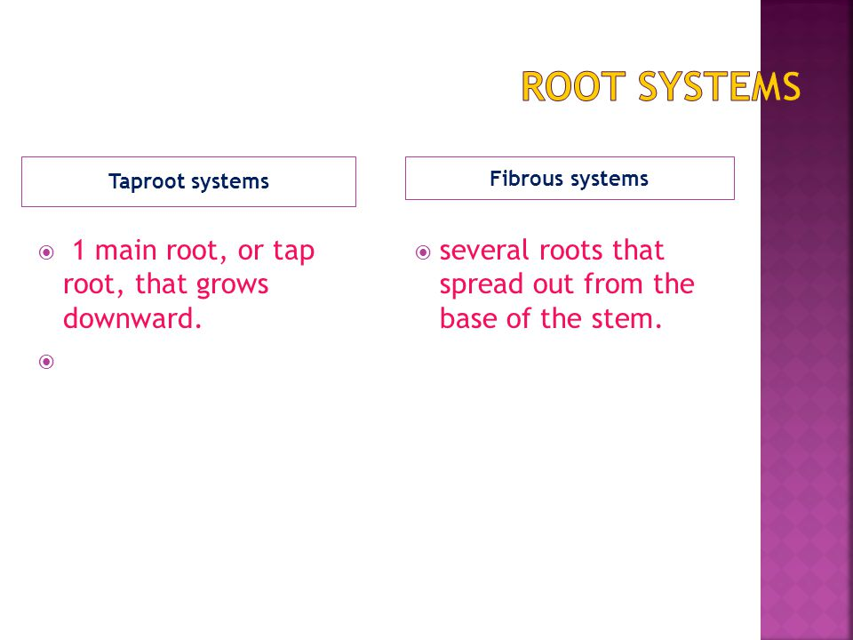 Taproot systems  1 main root, or tap root, that grows downward.