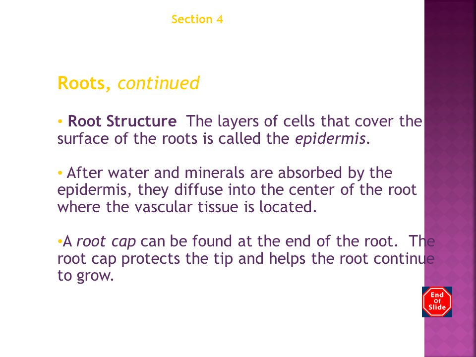 Section 4 Structures of Seed Plants Chapter 12 Roots, continued Root Structure The layers of cells that cover the surface of the roots is called the epidermis.