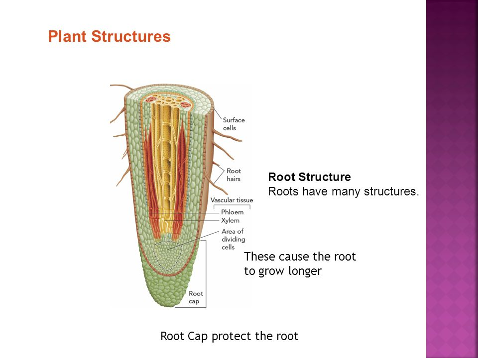 Root Structure Roots have many structures.