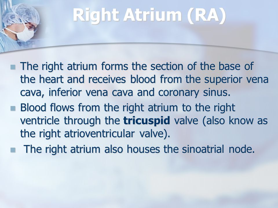Right Atrium (RA) The right atrium forms the section of the base of the heart and receives blood from the superior vena cava, inferior vena cava and coronary sinus.