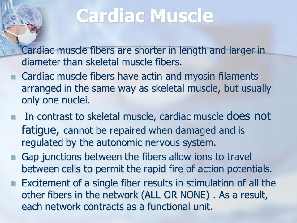 Cardiac Muscle Cardiac muscle fibers are shorter in length and larger in diameter than skeletal muscle fibers.