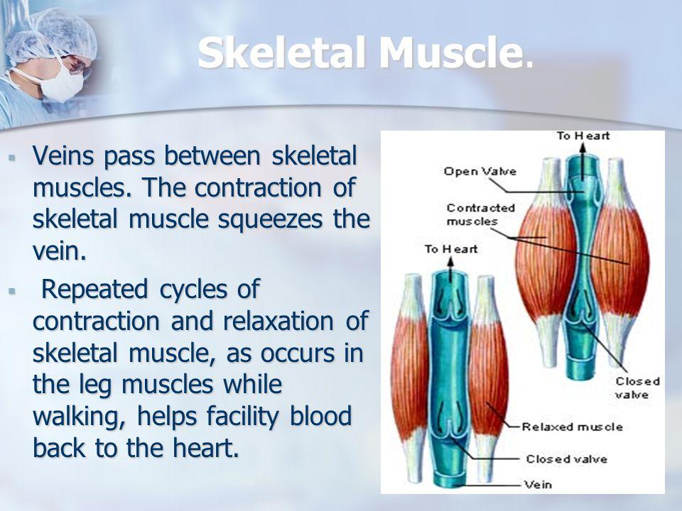 Skeletal Muscle. Veins pass between skeletal muscles.
