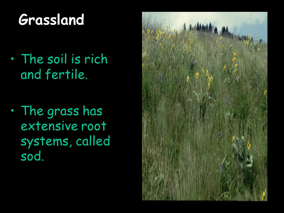 Grassland The soil is rich and fertile. The grass has extensive root systems, called sod.