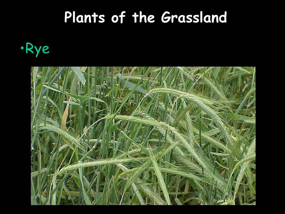 Plants of the Grassland Rye