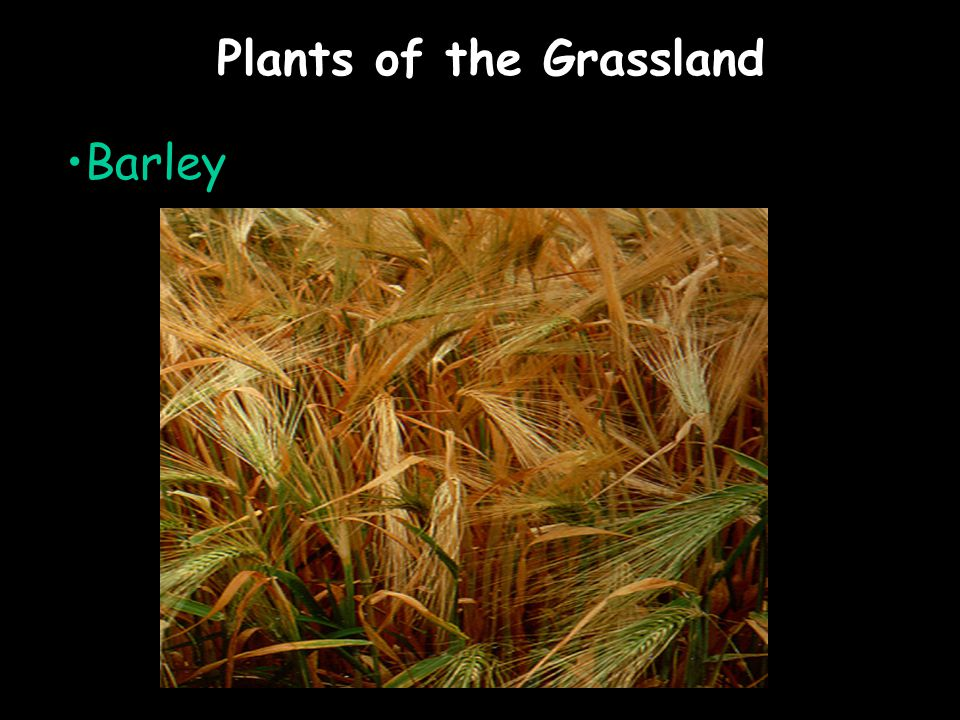 Plants of the Grassland Barley