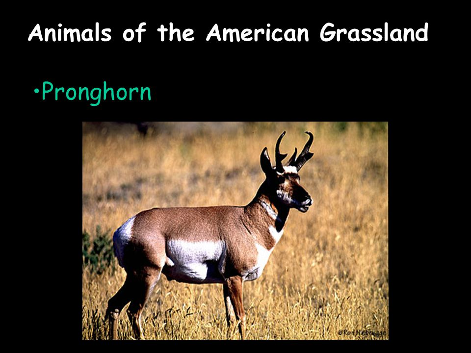 Animals of the American Grassland Pronghorn