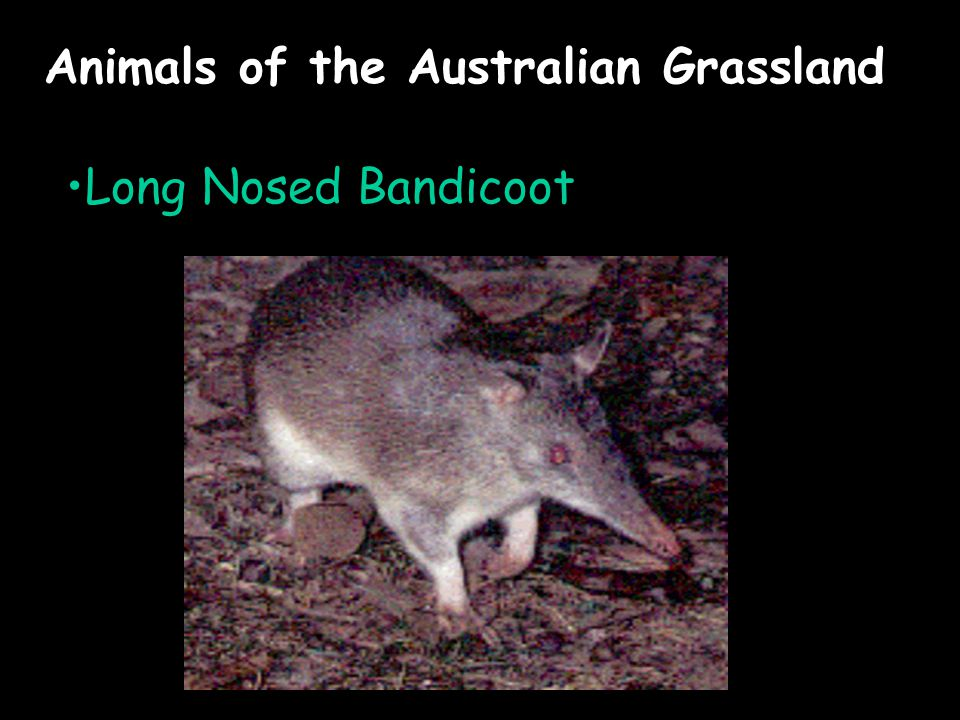 Animals of the Australian Grassland Long Nosed Bandicoot