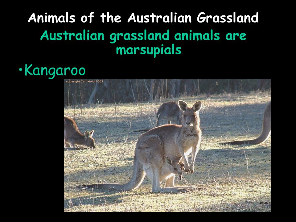 Animals of the Australian Grassland Australian grassland animals are marsupials Kangaroo
