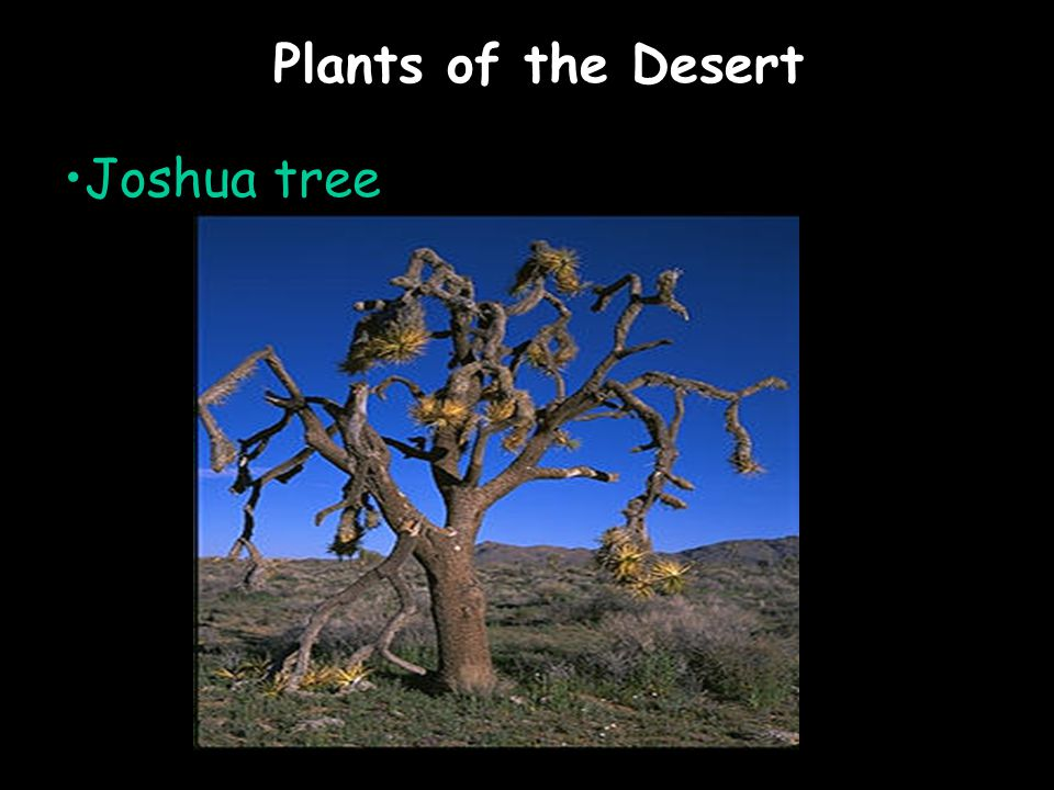 Plants of the Desert Joshua tree