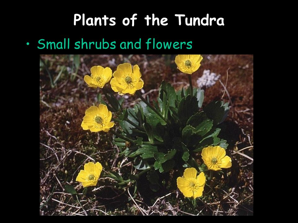 Plants of the Tundra Small shrubs and flowers