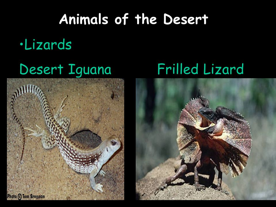 Animals of the Desert Lizards Desert IguanaFrilled Lizard
