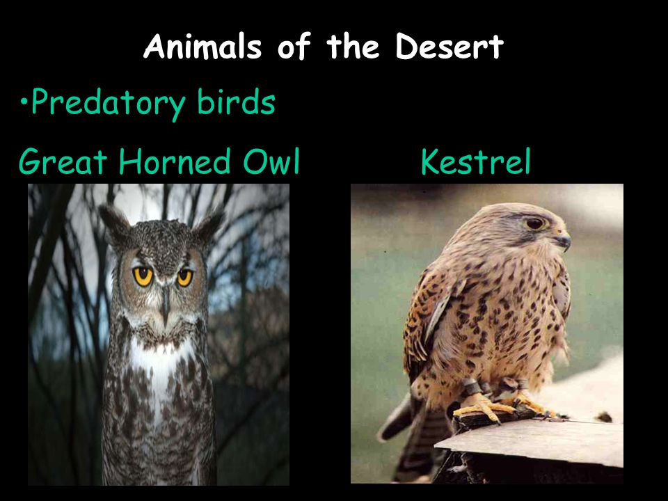 Animals of the Desert Predatory birds Great Horned OwlKestrel
